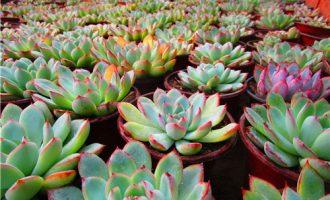 花卉植物龙船花的盆栽方法和养殖注意事项(图片)