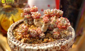 香水百合怎么养?什么时候种植最好?一年开几次花?(附水培方法)