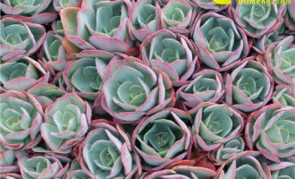 关于霓虹灯玉露的那些事,多肉植物霓虹灯介绍