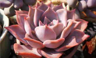 鹿角海棠养殖方法和注意事项