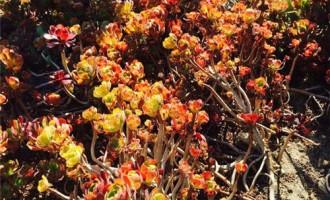 四季桂花一般什么时候开花,四季桂花的花期/花期3-5月
