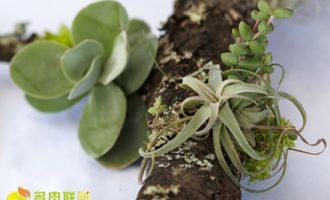 鹿角海棠种植栽培技术及注意事项