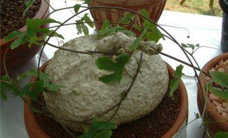 栀子花的播种与培育