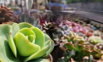 四季桂花盆栽怎么养护,四季桂花的养殖方法和注意事项