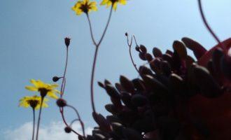 盆栽沙漠玫瑰叶子发黄的原因及解决方法