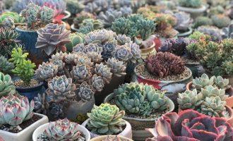 兜兰适合室内种植吗 对人体有害吗