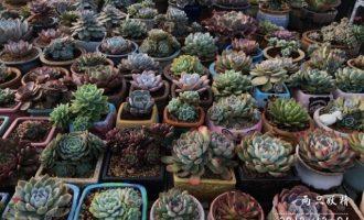 5年以上的九里香树苗价格多少钱一棵?怎么种植?