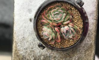 二月兰一般什么时候播种?盆栽种植方法是怎样的?