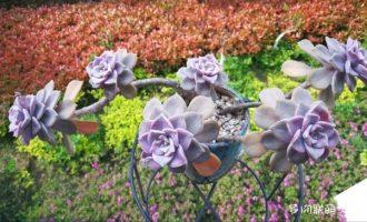 哪种仙人球开花最漂亮,十种开花的仙人球品种/绯花玉最美