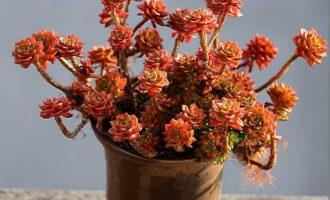 眩美玉仙人球养殖方法,眩美玉,仙人掌中开花最美的宝贝