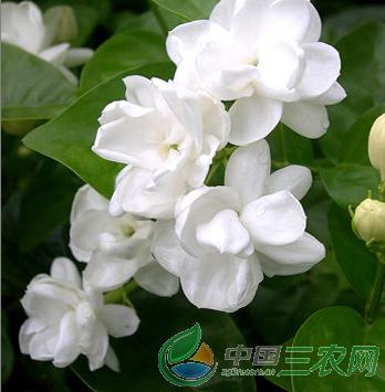 茉莉花养殖技术  茉莉花茶具有排毒养颜功效