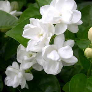 茉莉花养殖方法  茉莉花茶具有排毒养颜功效