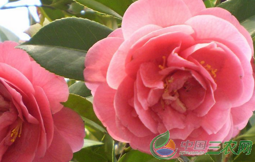 茶花的养殖技术和注意事项是什么