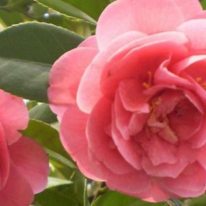 茶花的养殖方法和注意事项是什么