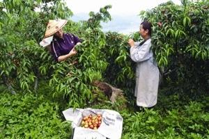 油桃熟了果农笑了 广西天峨特色农业助果农脱贫