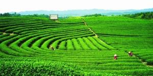 无性系良种有机茶有什么生产种植要求?