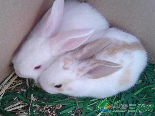 """""""家兔养殖技术:喂料也要讲究技巧少不了""""A"""