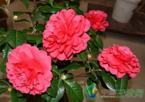 茶花的养殖技术  春秋冬三季可不遮阴