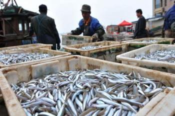 青岛面条鱼再现满舱 每日十几万斤面条鱼上岸