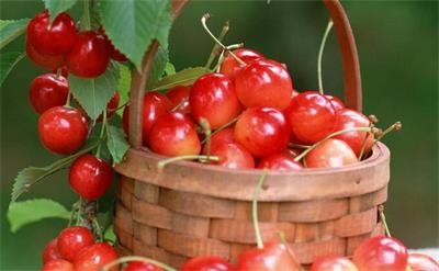 樱桃进入登场旺季 增产货多价廉