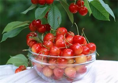 四川甜樱桃走上 广州市民餐桌