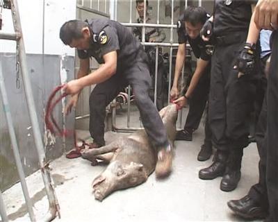 野猪闯进南京一医院伤人