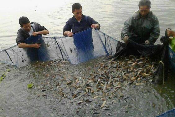 泥鳅养殖技术新增效能