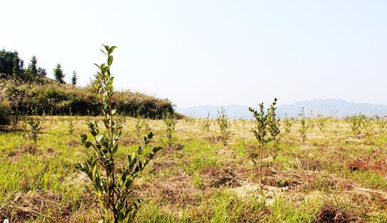 湖南油茶种植大户筑梦在山顶