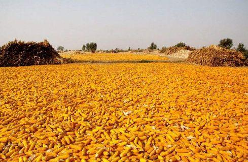 黑龙江玉米加工量创历史新高