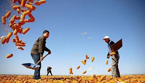 上海玉米种子首度成功出口台湾地区