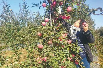 400亩矮砧苹果种植
