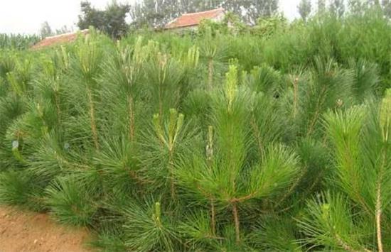 海东计划将完成13280棵油松栽种任务