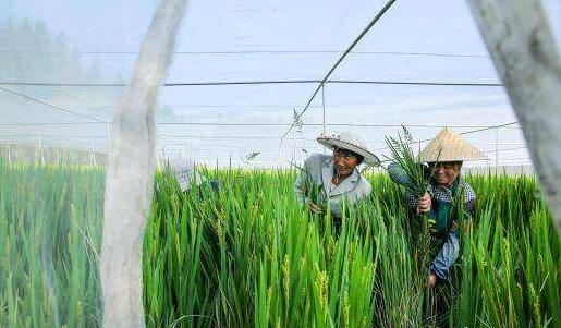 撑起蚊帐种水稻