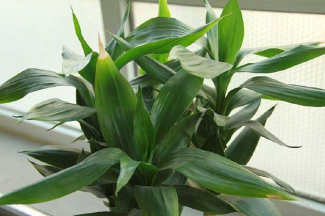 富贵竹种植业  走上绿色致富路