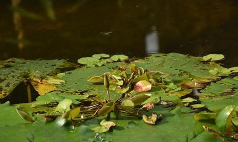 假胎生睡莲现身昆明植物园