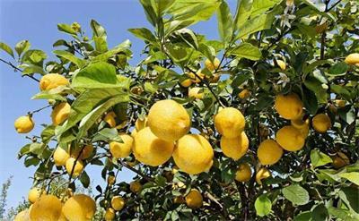 广安邻水5000亩柠檬园助农民增收
