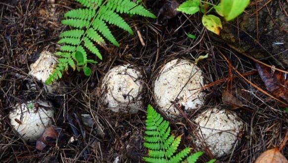 珍稀食用菌种植让荒山变金山