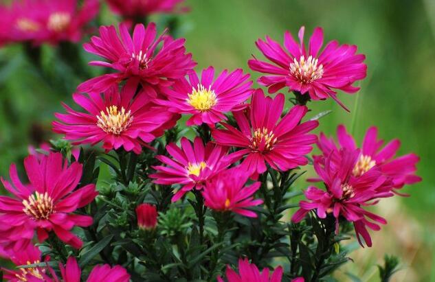 荷兰菊的种植技术  花友们看过来