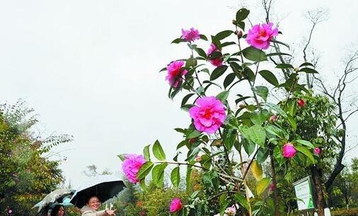昆明市花山茶栽种条件成熟