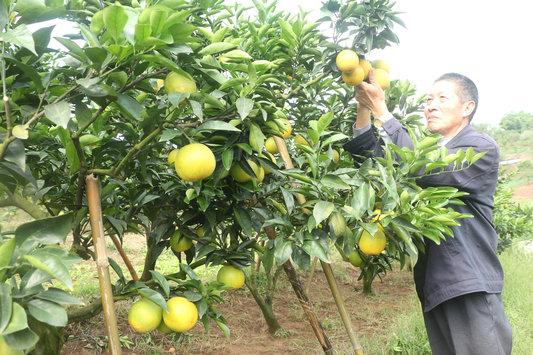 六旬种植能手 技术高超种甜橙年入10万