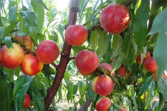 潍坊水果种植面积突破100万亩