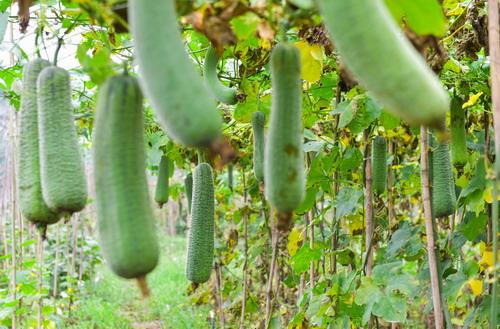 双季丝瓜高效栽培技术获成功
