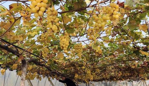 夏季葡萄推迟到冬天采