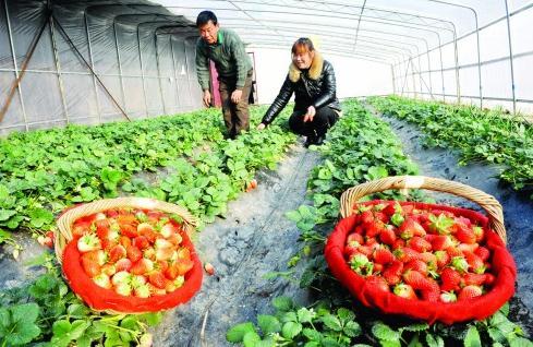 破解草莓重茬种植难题