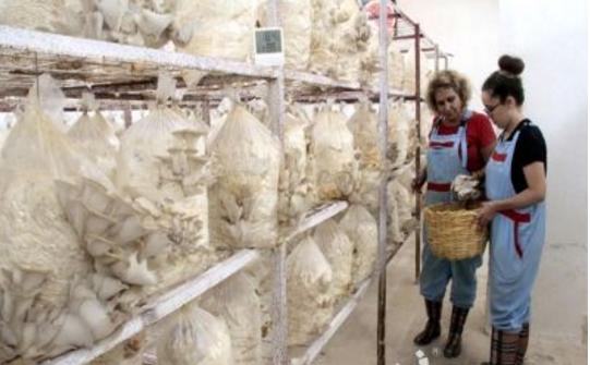 土耳其智能温室内平菇栽培变身大产业