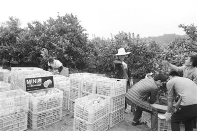 赣州小村靠橙子致富 一年卖出一亿元