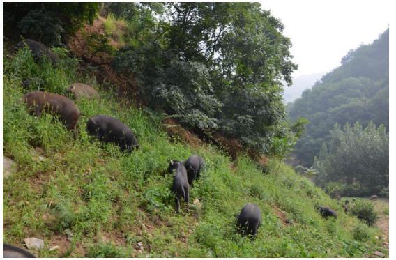 用6000亩山林散养出纯天然绿色黑猪