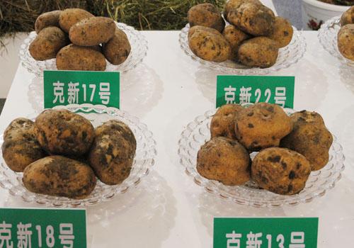 克山小土豆扬名大上海