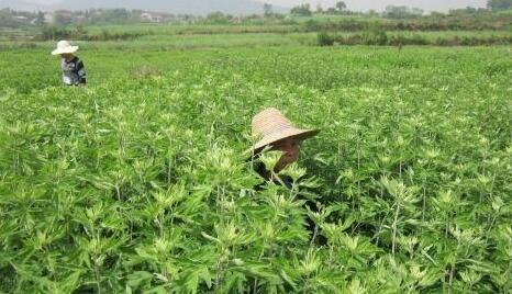 千户寨村发展集体经济 快速推进艾草种植项目