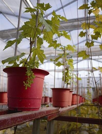 平度种出盆景葡萄 一株升值11倍